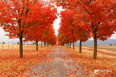 """""""Tree Lined Road""""  One of my favorite local fall locations.  This tree lined road is often beautiful in fall.  Greenbluff, WA"""