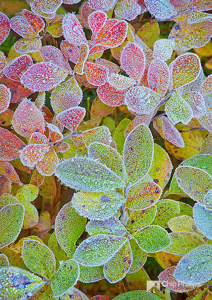 """Frosty Fall""  Frosty fall foliage, shot around sunrise from the shore of Reflection Lake in Mount Rainier National Park."