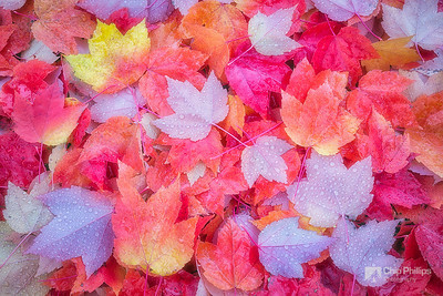 """""""Spokane Maple Leaves""""  These pretty maple leaves caught my eye while on a walk not far from my house."""