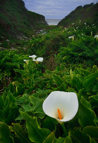 Calla Lily,<br /> Central Pacific Coast, CA