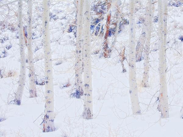 Snow and aspen trunk,<br /> Eastern Sierra, CA