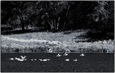 American White Pelican  09 09 12  109