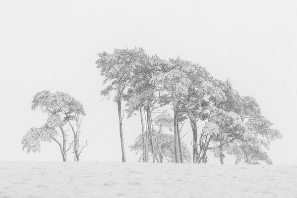 Scots pines in a snow shower
