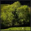 The Magic Tree and the Sheep