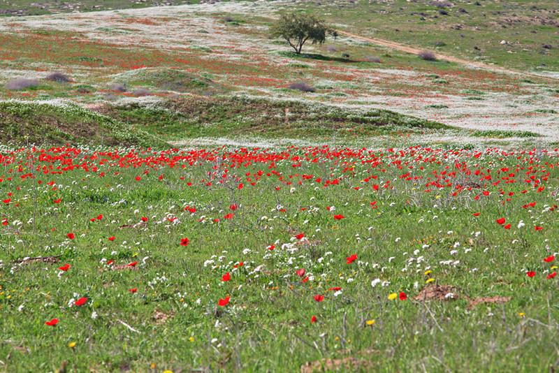 Blossem in Lachish area