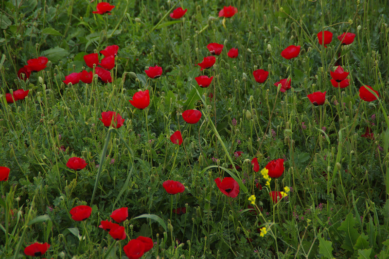 Corn poppy fields around Jerusalem. After drugs and rock'n roll in the holy city we were ready to start our road trip...