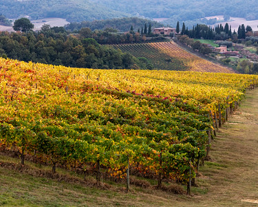 Tuscany vinyard in autumn.
