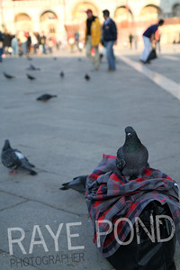 Pigeon sitting on someone's bag in San Marco Square in Venice.