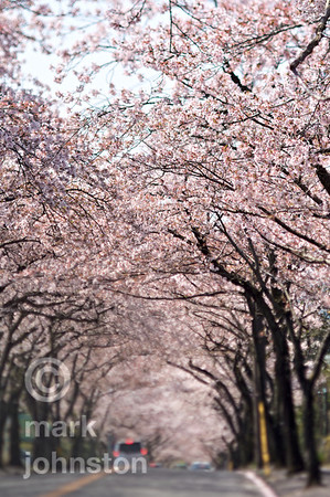 A tunnel of blossoming cherry trees at Izu Kogen, on the eastern coast of Shizuoka Prefecture's Izu Peninsula, Japan.