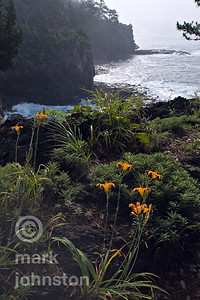 Lilies bloom along the rugged volcanic coastline of Japan's Izu Penninsula.