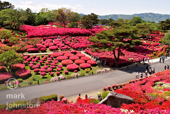 Azaleas in bloom at Komuroyama, near the city of Ito, on the Izu Peninsula, Shizuoka Prefecture, Japan.
