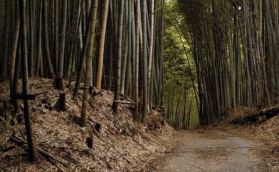 Bamboo grove. Rakusai area of Kyoto. Japan.