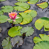 """Water Lily in the Pond"""