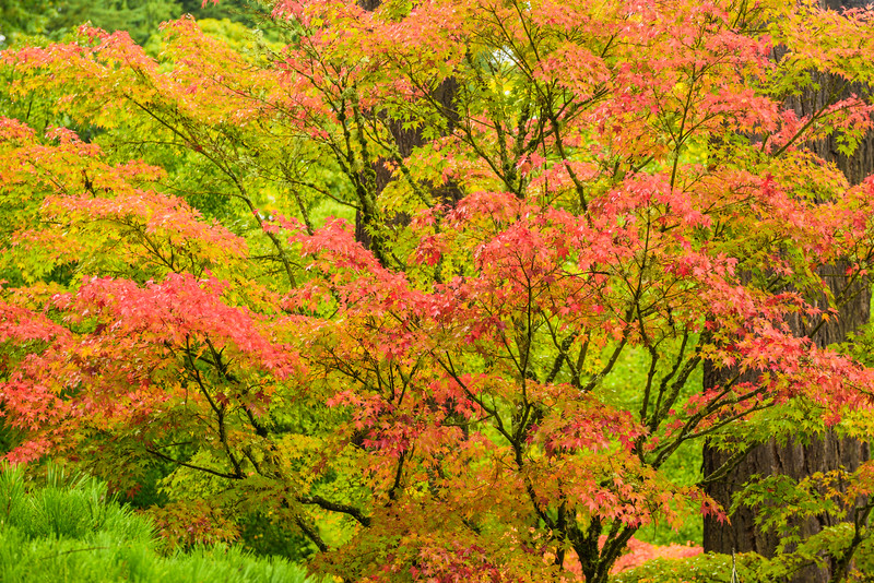 """""""Japanese Maple Leaves in Fall"""""""
