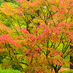 """Japanese Maple Leaves in Fall"""