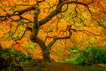 """Enchanting Tree of Life"" - Japanese Maple in the Fall"