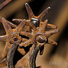 Spurs...  although not shiny<br /> <br /> I liked the DOF in this shot...  sometimes I get lucky.  :)