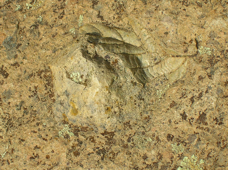 One of the fossil leaves on the trail.