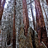 """Children of the Fallen"" - Marin Co. California<br /> <br /> Often a ring of younger redwoods can be found <br /> circling the fallen parent tree."