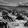 """""""Reeks of Turf"""" - (Mounds of Peat)  Co. Mayo, Ireland"""