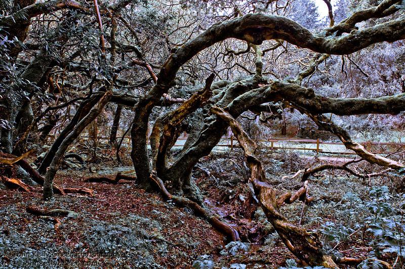"""Muir Woods Tangle"" - Marin Co. California"