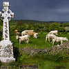"""Cattle Crossing"" - Co. Clare, Ireland"