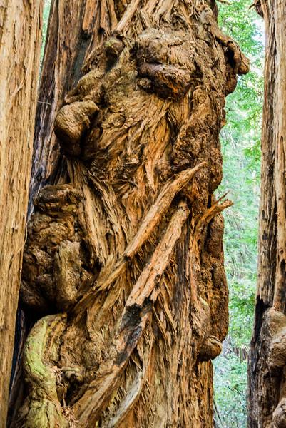 Redwood Elder