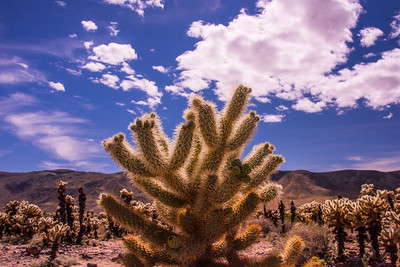 Desert cactus  forest in Joshua Tree National Park
