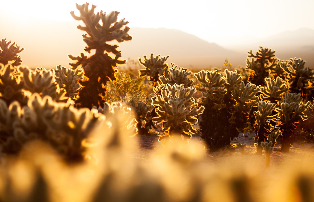 IMAGE: http://www.emaginepixel.com/Landscapes/Joshua-Tree-National-Park/i-8J8Cs5H/1/XL/20120421-Joshua-Tree-120-XL.jpg
