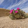 Beavertail Pricklypear Cactus