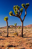 "Joshua Tree ""Forest"""
