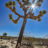 Joshua Tree Star Burst