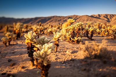 Cactus field at Joshua Tree National Park