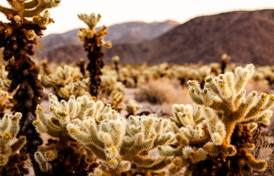 Sunrise at Cactus Garden at Joshua Tree National Park