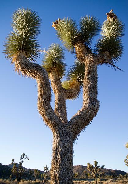 Joshua Tree 21