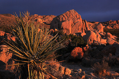 Yuccas and boulders in storm light in Joshua Tree National Park