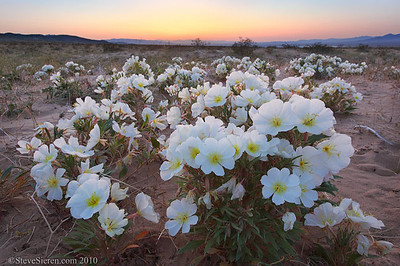 Primrose Sunset  I scouted out some of the wilderness areas outside the park looking for wildflowers because the bloom in Joshua Tree hadn't happened yet.  I was lucky to find these desert birdcage primrose blooming in a low lying dune field.