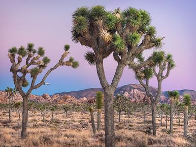 Joshua trees and Ryan Mountain at dusk in Joshua Tree National Park, California.
