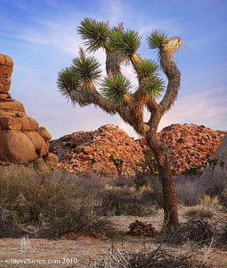 Joshua Tree in the notch.