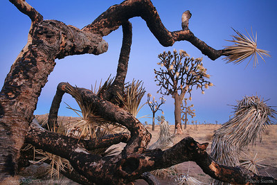 Burned joshua tree forest in Joshua Tree National Park  These strange looking trees with their scragly bark resembling a coat of a wet dog and their twisted limbs resembling reaching arms are unlike anything else on the planet.  They're not something easily forgotten!