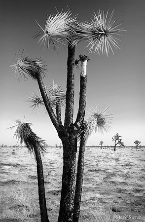 Odd Joshua Tree  These other worldly trees are only found in the Mojave Desert part of the U.S.