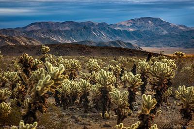 Cholla Garden Joshua Tree National Park Mojave Desert