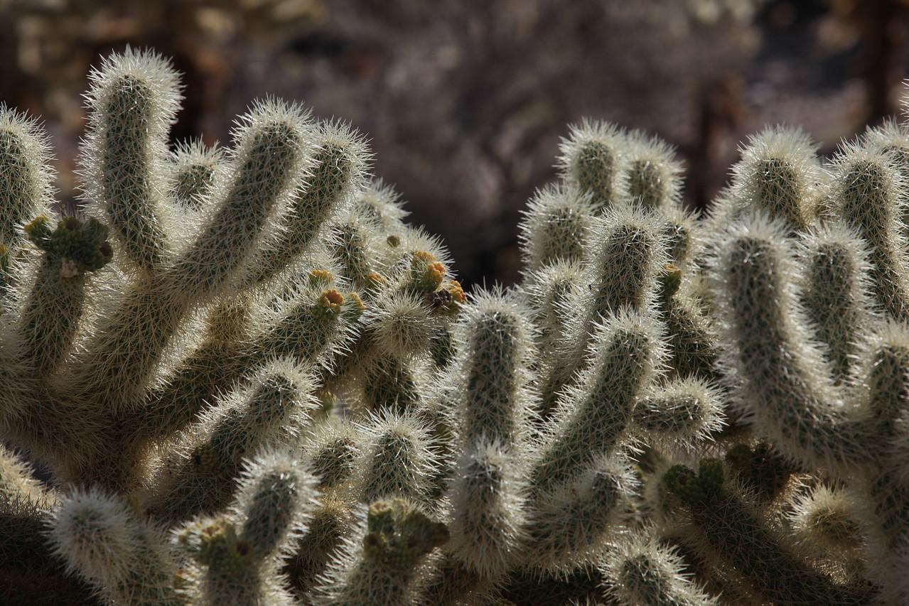 Cholla Cactus Garden - Joshua Tree National Park