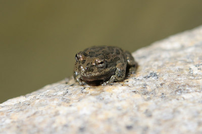 Life finds a way in areas with little rain.  This frog was found in the the stream.