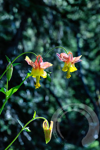 Red & Yellow Columbines