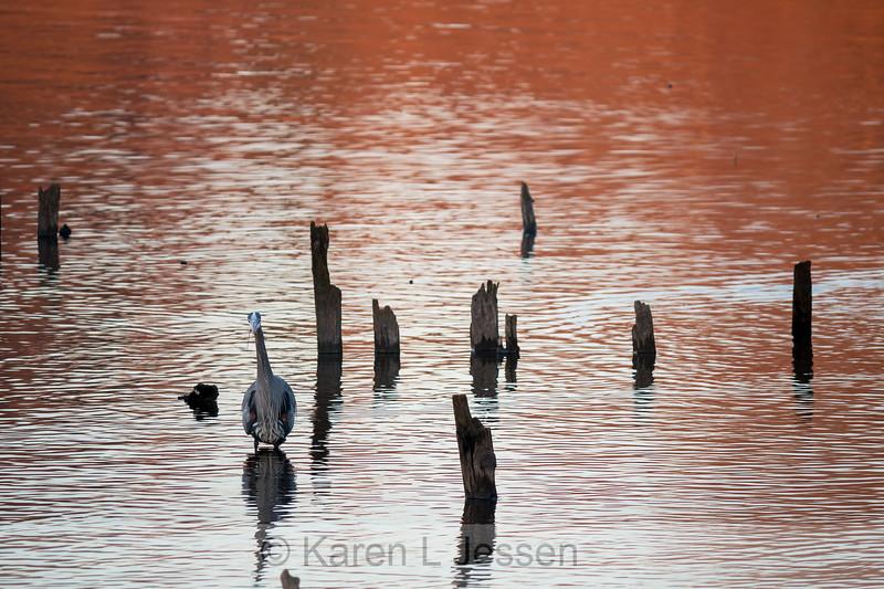Heron at Juanita Bay