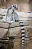 lemur  40D  sRGB  _MG_6652
