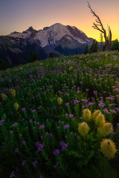 Twilight Mood Over The Pasque Flowers - Silver Forest Trail, Mt Rainier NP, WA
