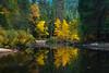 Autumn Gold Mirror From Pohono Bridge - Lower Yosemite Valley, Yosemite National Park, California