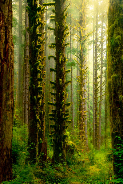 Morning Light Breaking Through Midst In Black Forest - Black Forest, Olympic National Park, WA